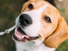 三人小品剧本狗狗被栽赃患上猪流感