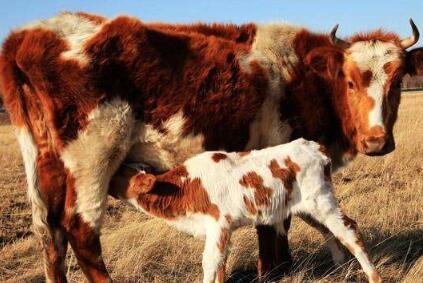 那些母牛都走了