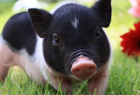 我们拿它喂猪