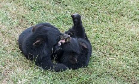 幽默笑话 白熊和黑熊交配