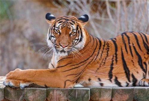 虎鞭是什么