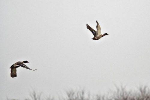一只大雁前面飞呀飞