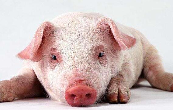 四人相声剧本 猪年说猪