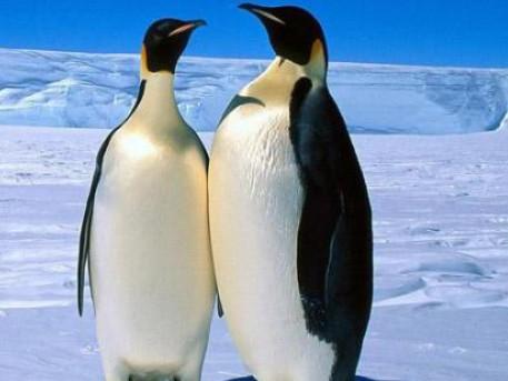 企鹅找北极熊玩